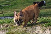 suche englische bulldogge